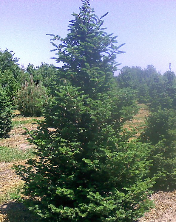Blue Christmas Trees For Sale