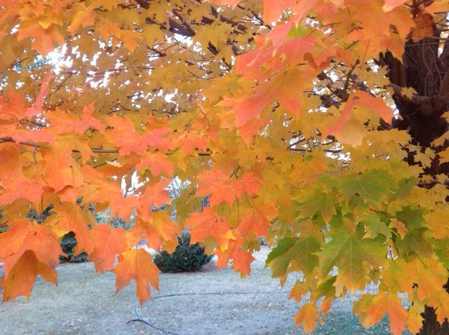 Cosst of mature maple tree