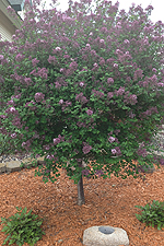 Korean Dwarf Lilac tree