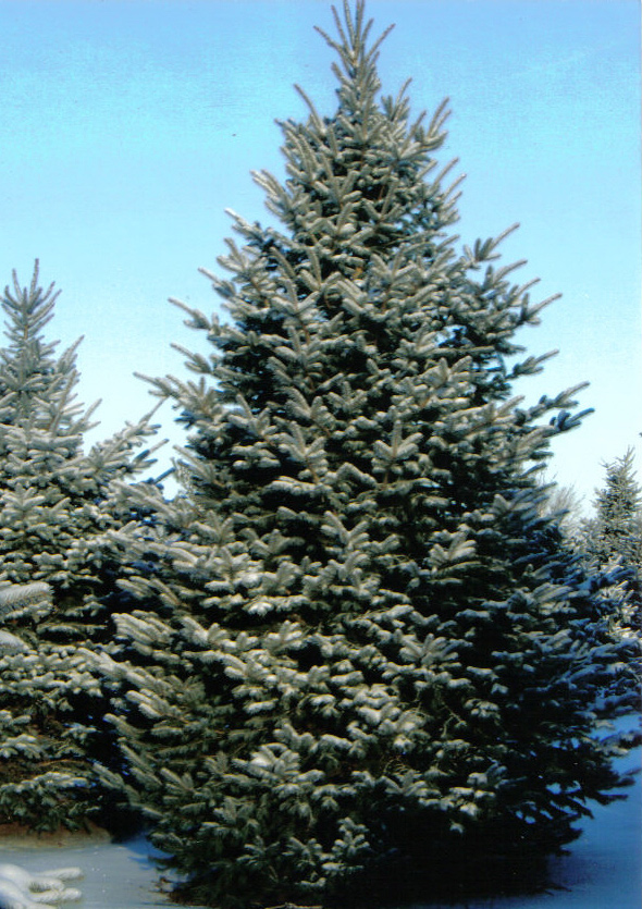 Colorado Blue Or Green Spruce Tree