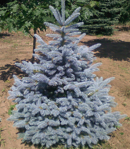 Colorado mature trees for sale