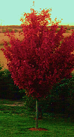 Firefall Maple