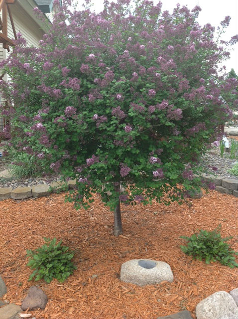 Shade ornamental deciduous trees for sale maple oak for Small dwarf ornamental trees