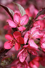 Prairiefire Crabapple Tree