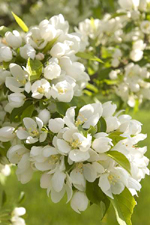 Spring Snow Crab Apple Tree